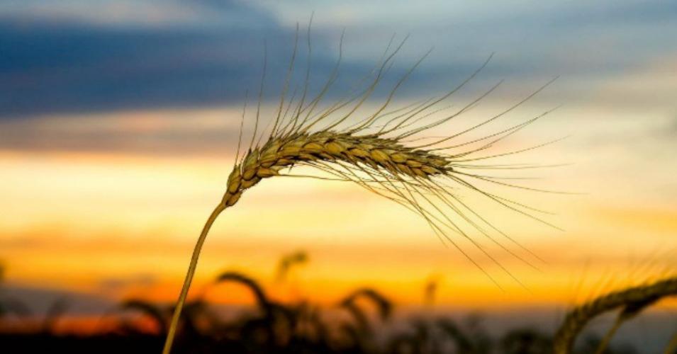 ukraine_wheat